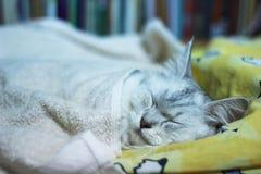 Gullig perser plus sömn för maine tvättbjörnkatt på säng Arkivfoton