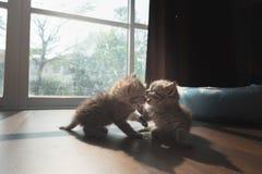 Gullig persisk kattunge i hem Royaltyfri Bild