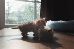 Gullig persisk kattunge i hem Fotografering för Bildbyråer