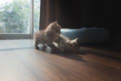 Gullig persisk kattunge i hem Arkivbilder