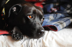 Gullig pitbull Arkivfoto