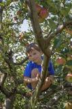Gullig pojke i äppleträd Arkivbild