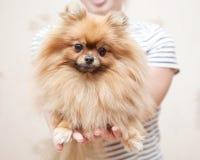 Gullig Pomeranian hund i händerna som ser kameran Arkivfoton