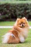 Gullig Pomeranian hund int den utomhus- trädgården Royaltyfri Bild
