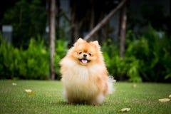 Gullig Pomeranian hund som kör int den utomhus- trädgården Royaltyfria Foton
