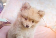 Gullig pomeranian hund som ler på stolen royaltyfri fotografi
