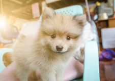 Gullig pomeranian hund som ler på stolen royaltyfria bilder