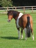 Gullig ponny Arkivfoton