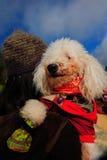 Gullig Poodel hund Royaltyfri Fotografi