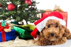 Gullig pudelvalp i jultomtenhatt med det Chrismas trädet och gåvor Royaltyfri Foto