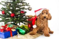 Gullig pudelvalp i jultomtenhatt med det Chrismas trädet och gåvor Arkivfoton
