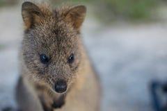 Gullig quokka på den Rottnest ön Fotografering för Bildbyråer