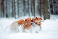 Gullig röd hundvislaspring och lek med en pinne i snön royaltyfri fotografi