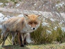 Gullig röd räv (Vulpesvulpes) med stora ögon Royaltyfria Bilder