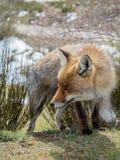 Gullig röd räv (Vulpesvulpes) med stora ögon Arkivfoton