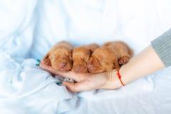 Gullig röd sömn för vecka för ålder för valpVisla hund på handen på den blåa bakgrunden arkivbilder