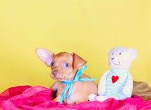 Gullig röd valp som ligger med en favorit- leksak på en gul bakgrund Rolig hund som poserar i en blå pilbåge som poserar i studio royaltyfri bild