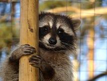 gullig raccoon Arkivbild