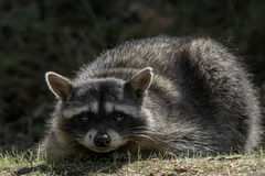 Gullig Raccoon Royaltyfria Bilder