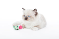 Gullig Ragdoll kattunge Arkivbild