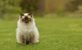 Gullig Ragdoll pottkatt med blåa ögon som sitter raksträcka på gräs i en trädgård royaltyfria foton