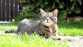 Gullig randig rolig katt på trädgården stock video