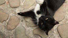 Gullig rolig svartvit katt som spelar med kvinnan lager videofilmer