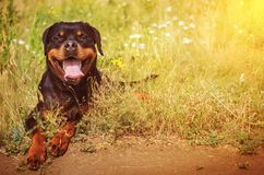 Gullig rottweilerhund Royaltyfri Fotografi