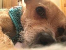 Gullig sömnig hund royaltyfri fotografi