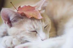 Gullig sömnig katt Fotografering för Bildbyråer