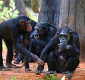 gullig schimpans Arkivbild