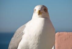 gullig seagull som ser kameran Royaltyfri Fotografi