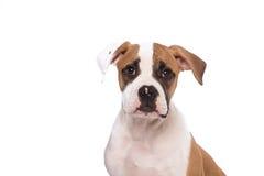Gullig seende amerikansk bulldogg Arkivfoton