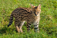 Gullig Servalkattunge som plattforer på gräs Arkivfoto