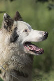 gullig sheepdog royaltyfria foton
