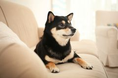Gullig Shiba inuhund på soffan royaltyfri bild