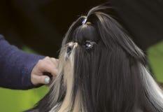 Gullig shihtzuvalp på en hundshow royaltyfri foto