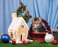 Gullig siberian kattunge Arkivbild