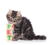 Gullig siberian kattunge Fotografering för Bildbyråer