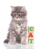 Gullig siberian kattunge Royaltyfri Bild