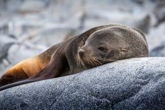 Gullig sjölejon som kopplar av på en vagga i Antarktis Arkivfoto