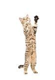 Gullig skämtsam kattungeskotteraksträcka Arkivbild