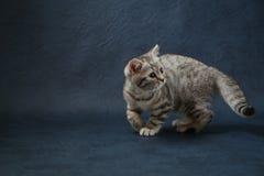 Gullig skotsk rak katt som blir fyra ben på mörker - blå bakgrund Arkivfoto