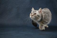 Gullig skotsk rak katt som blir fyra ben på mörker - blå bakgrund Arkivbild