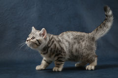 Gullig skotsk rak katt som blir fyra ben på mörker - blå bakgrund Royaltyfri Foto