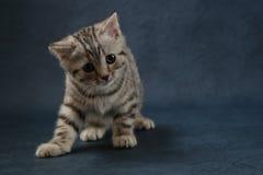 Gullig skotsk rak katt som blir fyra ben på mörker - blå bakgrund Arkivfoton