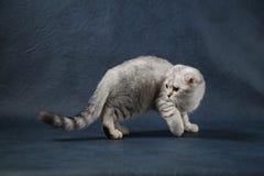 Gullig skotsk veckkatt som blir fyra ben på mörker - blå bakgrund Fotografering för Bildbyråer