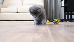 Gullig skotsk veckkattunge som spelar med en röd prick arkivfilmer
