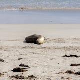 Gullig sova australisk sjölejon ( Neophoca cinerea) på känguruökustlinjen södra Australien, skyddsremsafjärd royaltyfri fotografi