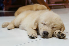 Gullig sova hund arkivfoton